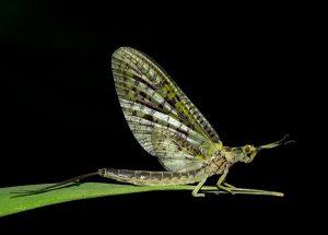 Green Drake - LRSA